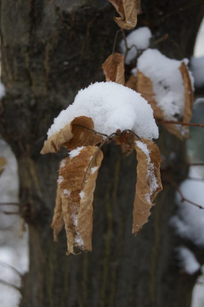 Schnee auf Laubblatt