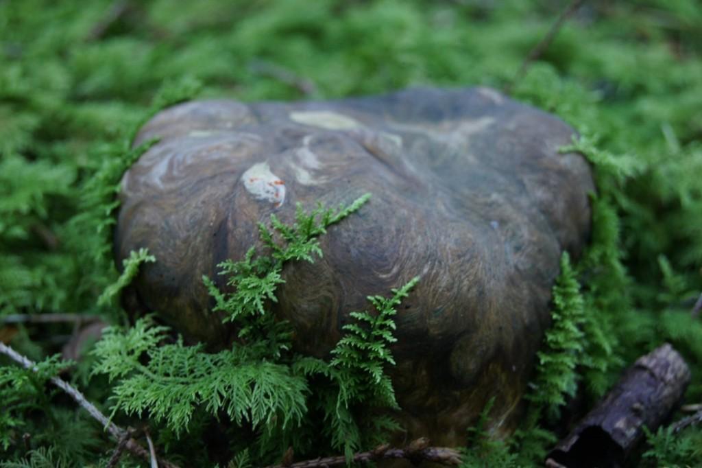 Baumstumpf der wie ein Pilz aussieht
